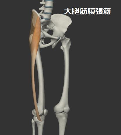 大腿筋膜張筋の右斜めからみたイラスト