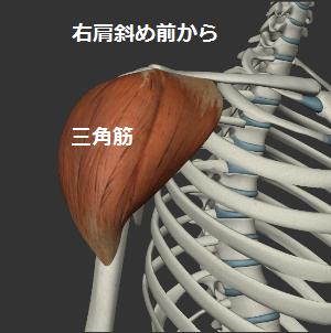 三角筋イラスト(右肩斜め前から)
