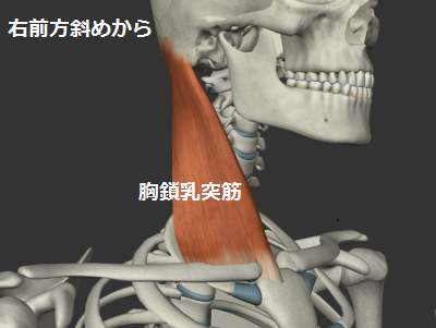 胸鎖乳突筋イラスト