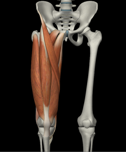 大腿四頭筋(縫工筋なども標記)